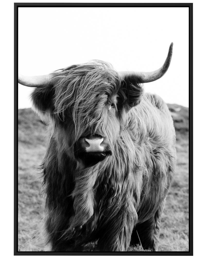 Quadro Scottish Cattle PB