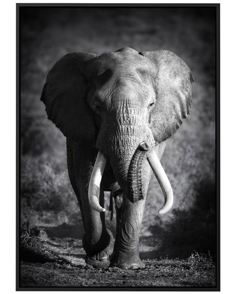 Quadro Elefante PB