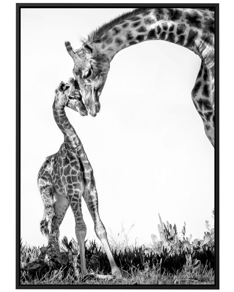 Quadro Girafa & Filhote PB