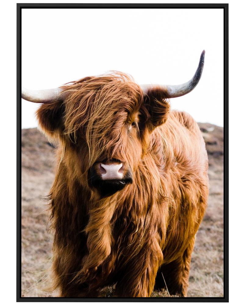 Quadro Scottish Cattle