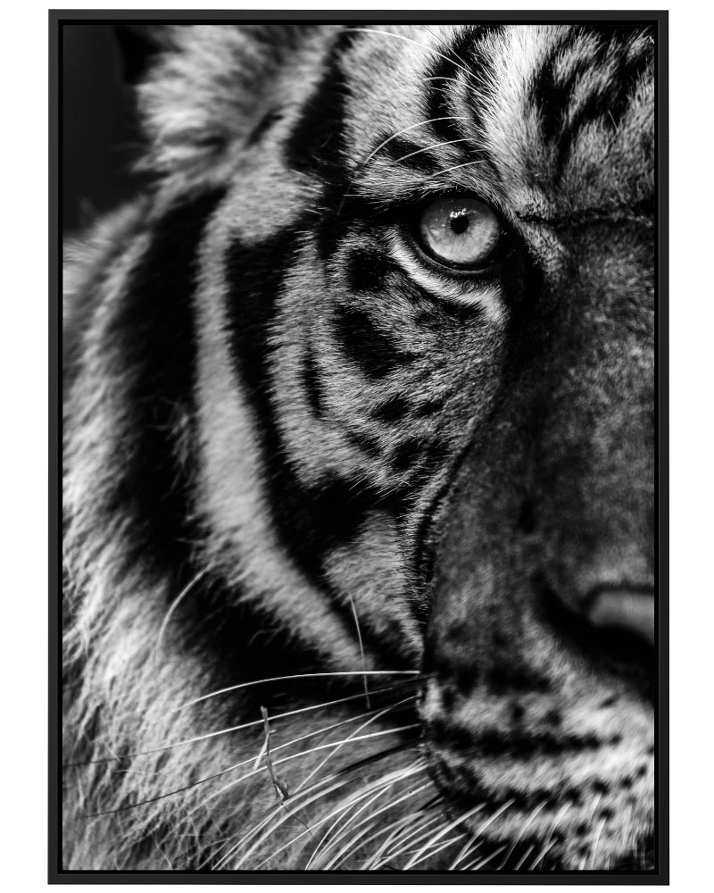 Quadro Tigre PB