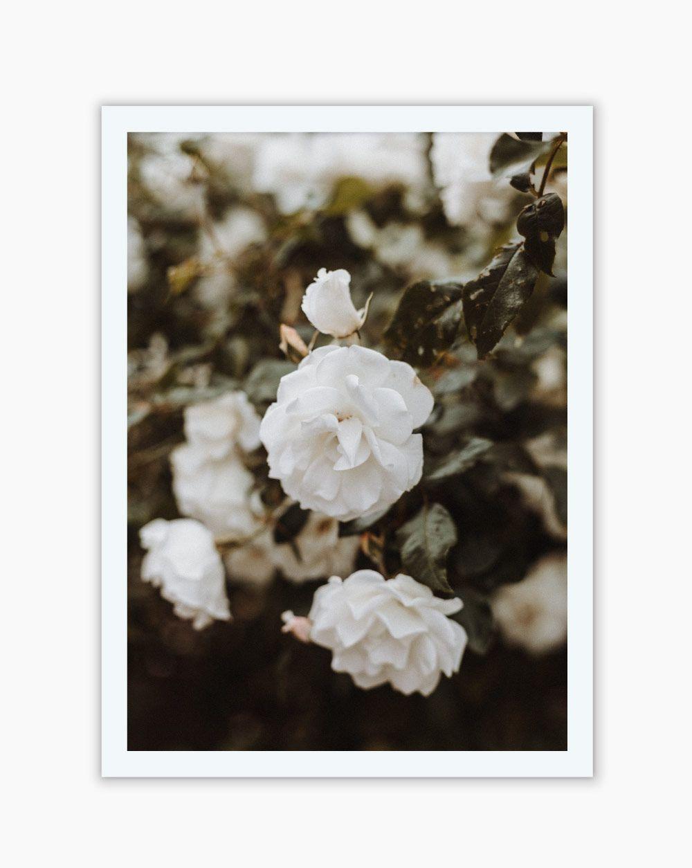 Quadro White Roses