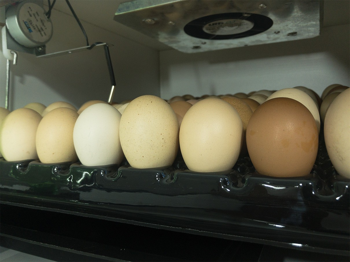 Chocadeira Automática -  81 Ovos (Viragem Angular)