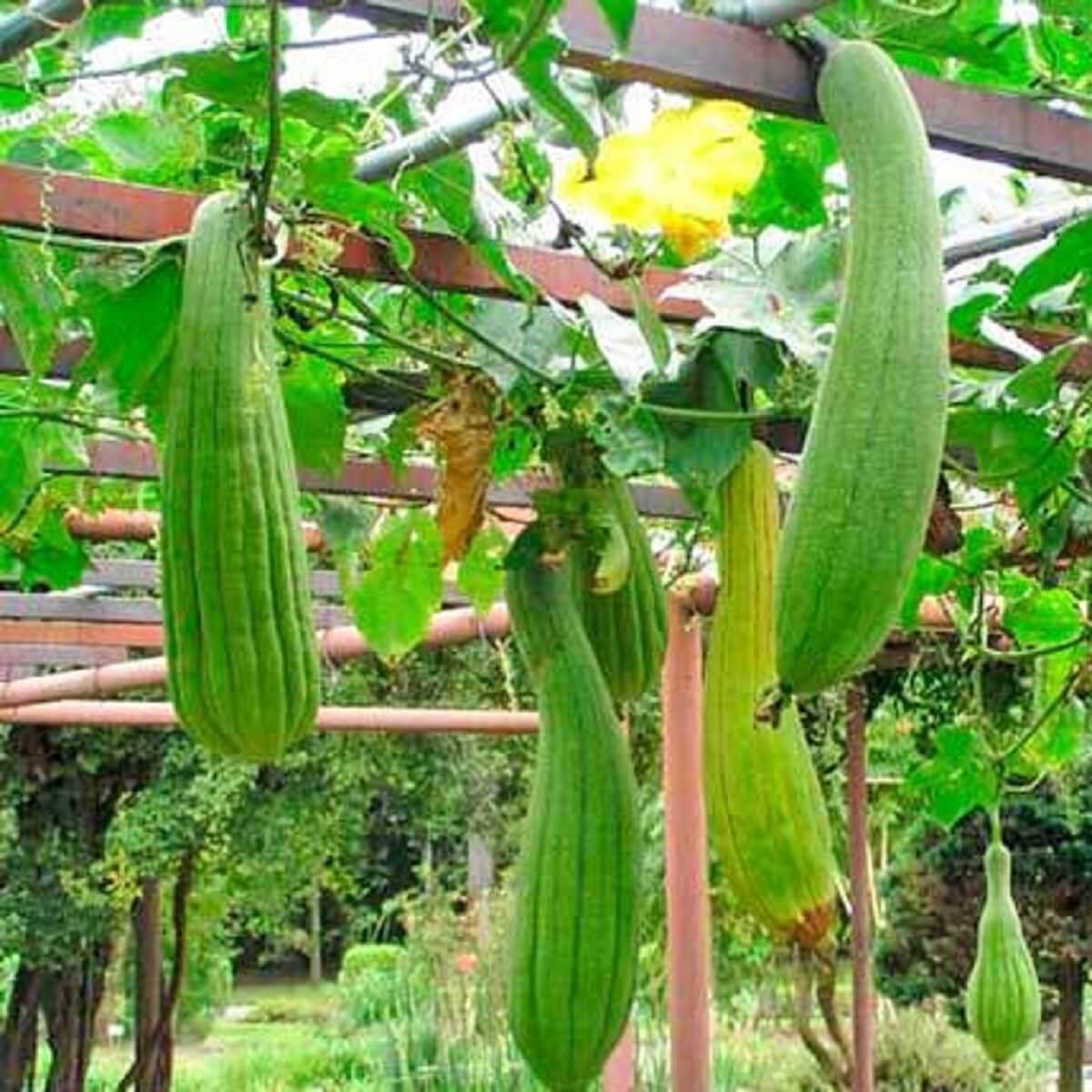 Bucha Vegetal Natural Biodegradável e Compostável 1un