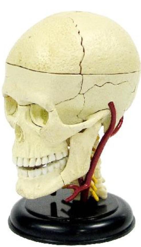 Kit Crânio Humano 39 peças