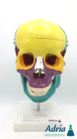 Crânio Didático Colorido , em 5 partes