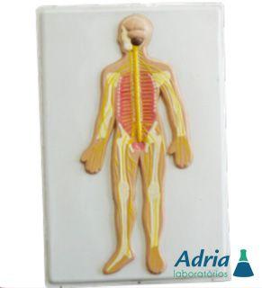 Modelo de Sistema Nervoso em Prancha