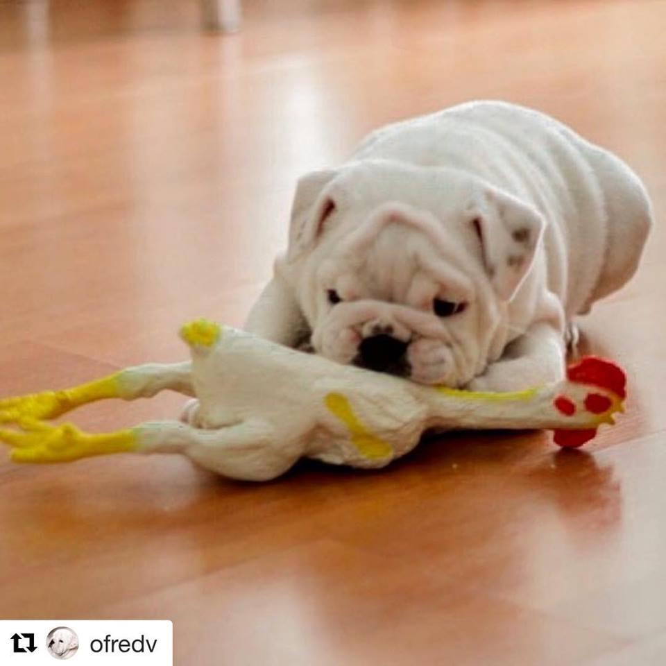 Frango De Borracha Galinha Pet - Brinquedo P/ Cão