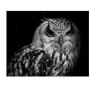 Quadro Coleção Fauna - Coruja P&B