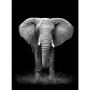 Quadro Coleção Fauna - Elefante P&B