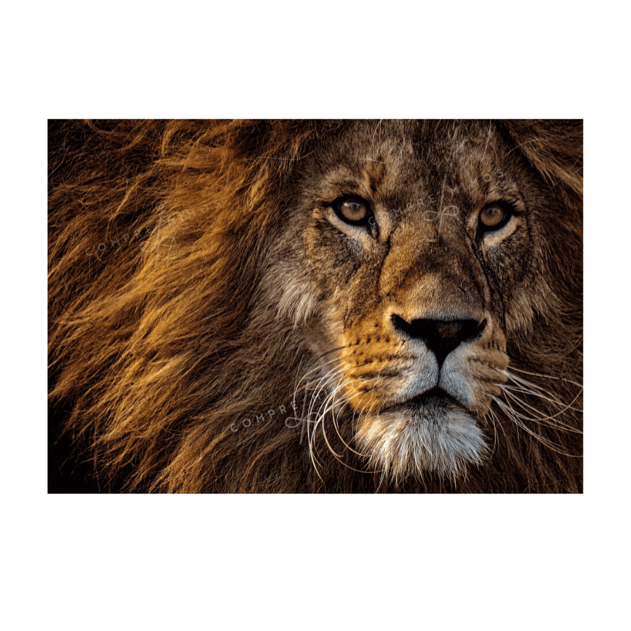 Quadro Lion Nature