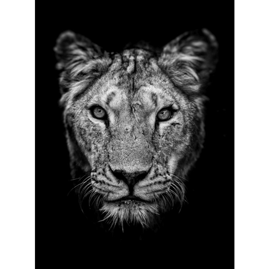 Quadro Coleção Fauna - Tigre P&B