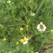 Chá de Camomila Orgânico - 20g - Vale Ecológico