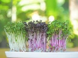 Sementes de Agrião - Microverde - Isla Sementes