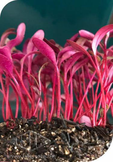 Sementes de Beterraba - Microverde - Isla Sementes