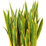 Planta Ornamental Espada de São Jorge Amarela - 85cm