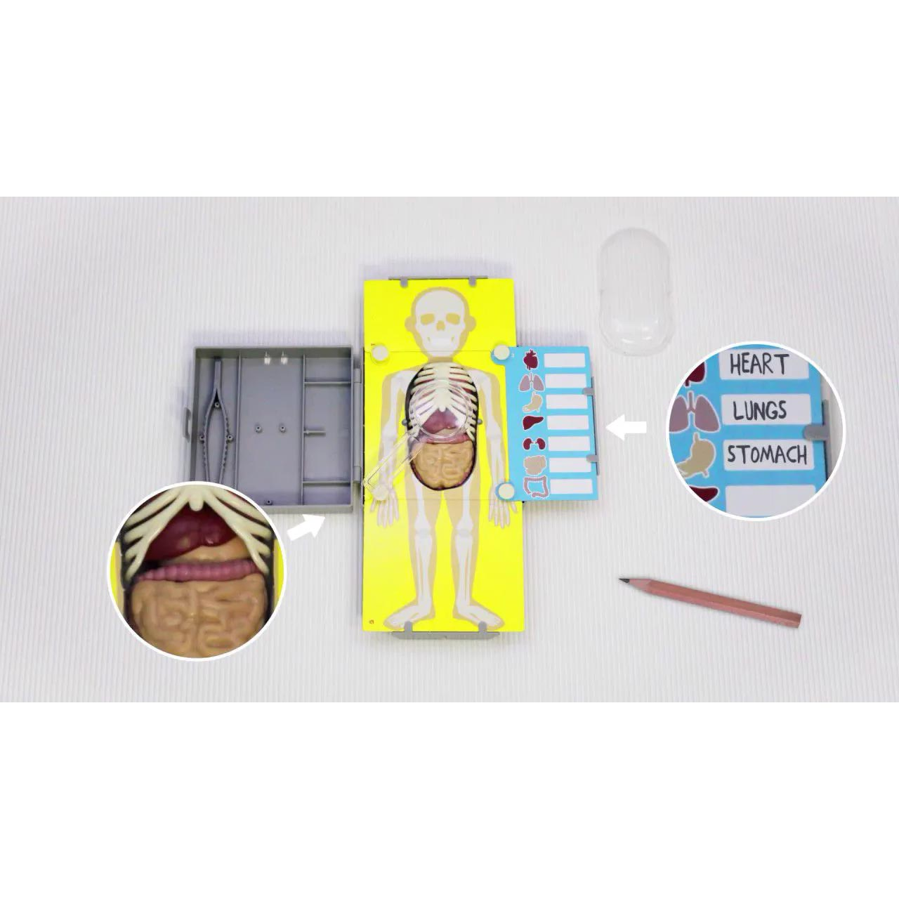 Kidz Labs Anatomia – Torso Humano