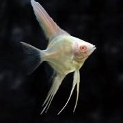 Acará Bandeira Albino