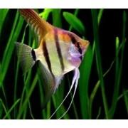 Acará Bandeira Falso Altum | Pterophyllum scalare