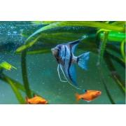 Acará Bandeira Zebra Azul | Pterophyllum Scalare
