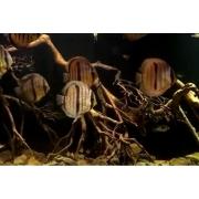 Acará Disco  Heckel | Symphysodon discus | 14 a 16cm