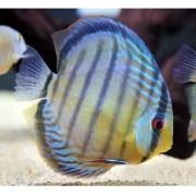 Acará Disco Selvagem Blue | Symphysodon discus | 14 a 16cm