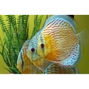 Acará Disco Selvagem Green Red Spotted | 14 a 16 cm