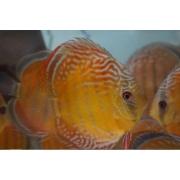Acará Disco Selvagem Orange Nhamunda | 14 a 16 cm | Symphysodon Aequifasciatus