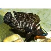 Altolamprologus Calvus | 2 a 4 cm