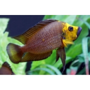 Altolamprologus Compressiceps Gold Head | 2 a 3  cm |