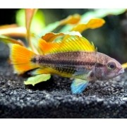 Apistogramma Agassizi Orange