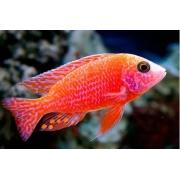 Aulonocara Fire Fish 5 a 7 cm | Ciclídeos Africanos | Lago Malawi