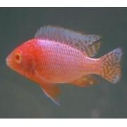 Aulonocara Fire Fish Albina 5 a 7 cm | Ciclídeos Africanos | Lago Malawi