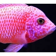 Aulonocara Pink 5 a 7cm | Ciclídeo Africano | Lago Malawi