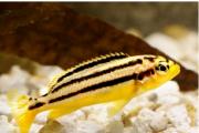 Auratus Amarelo | Melanochromis auratus