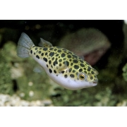 Baiacu Spotted  | Spotted Puffer | 4 a 6 cm | Tetraodon Nigroviridis