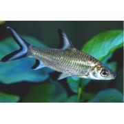 Balashark | Balantiocheilos melanopterus