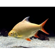Barbo Tinfoil Red Tail  Albino| 4 a 5 | Barbonymus schwanenfeldii