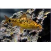 Barbus Ouro | Barbodes semifasciolatus