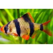 Barbus Sumatra | Puntius Tetrazona