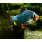 Barbus Sumatra Verde | Puntius Tetrazona