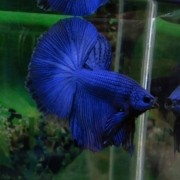 Betta Blue Dragon Casal