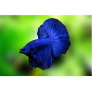 Betta Blue Dragon Casal