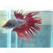 Betta Crowntail Red Casal