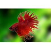 Betta Crowntail Red Casal