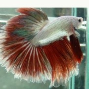 Betta Red Dragon Fêmea