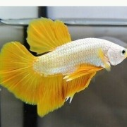 Betta Yellow Dragon Casal