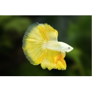 Betta Yellow Dragon Casal