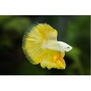 Betta Yellow Dragon Macho