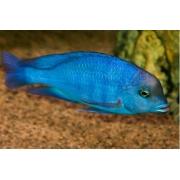 Blue Golfinho | 4 a 5 cm |Cyrtocara Moorii